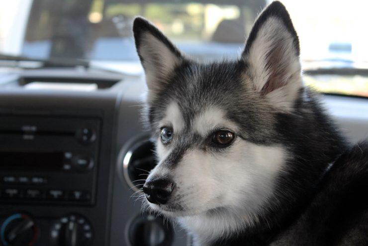 dog on passenger seat of car